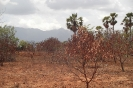 Trees dying because of the drought