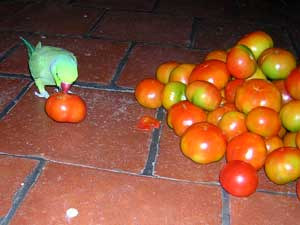 tomatoesParrot